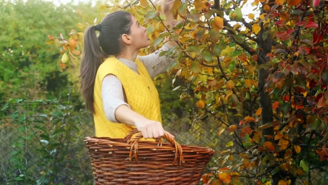Young woman picking pears at sunset.