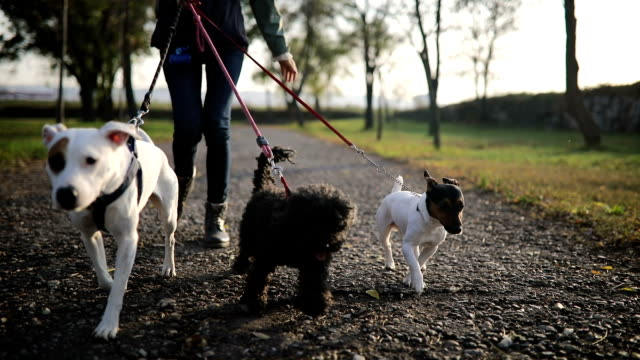 Young woman walking with three dogs in public park