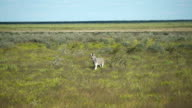 Young zebra walking through savannah