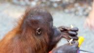 Younger orangutan eating Cookie