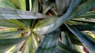 Yucca cactus plant close-up zoom.