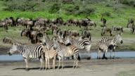 Zebra and Wildebeest Resting During Great Migration