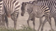 Zebra foal walks with herd across savanna. Available in HD.