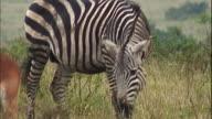 A zebra grazes with a group of impalas.
