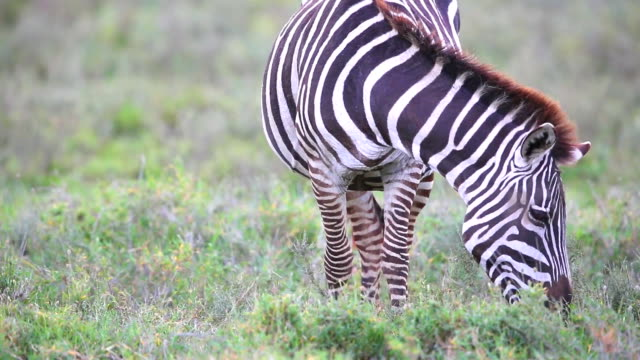 Zebra Grazing at Savannah