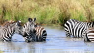 Zebra Herd Drinking in mere / lake