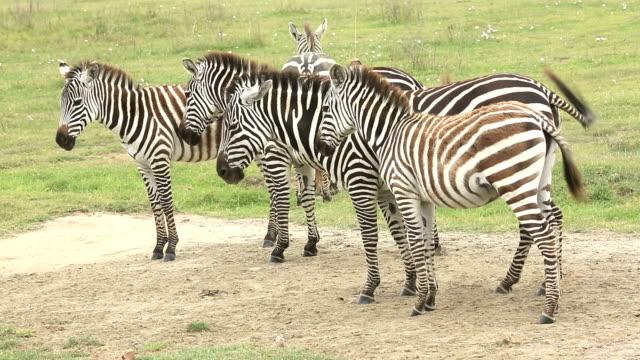Zebra Herd Grazing at Savannah