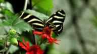 Zebra longwing butterflies feeding