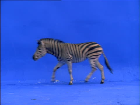 Zebra runs across frame then turns back