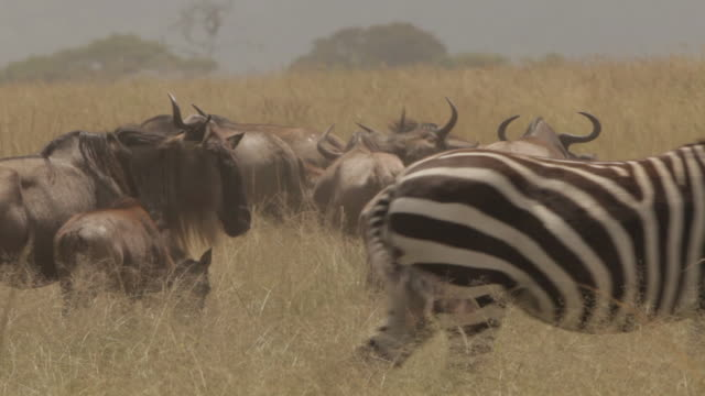 Zebra walk past in the foreground whilst wildebeest stand in the background, Tanzania.