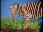 Zebra walks away from grass against blue screen
