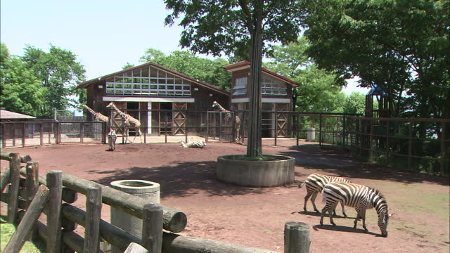 Zebras and giraffes graze in a zoo enclosure.