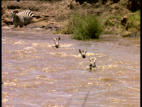 Zebras crossing Mara river get swept downstream, Kenya.