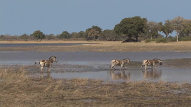 WS, ZI, Zebras (Equidae family) crossing water, Okavango Delta, Botswana