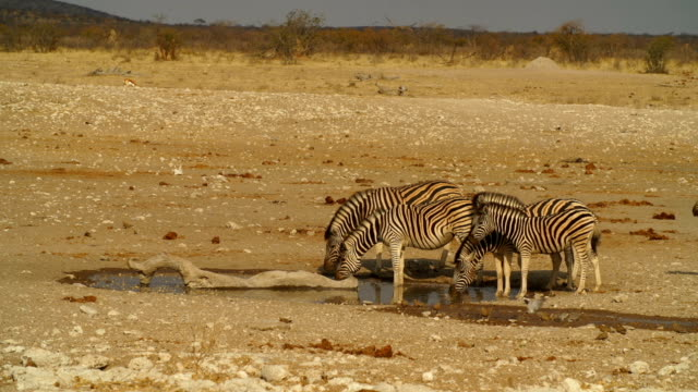 WS Zebras drinking from waterhole / Namibia