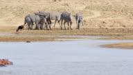 WS Zebras drinking water from lake / Lukuzi, Eastern, Zambia