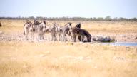 LS Zebras Drinking Water In Savannah