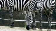 HD:zebras eating food