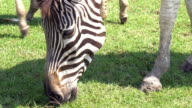 Zebras eating for food in farm.