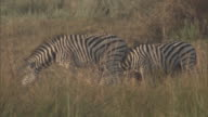 Zebras graze on grass in a marsh.