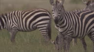 Zebras graze on savannah. Available in HD