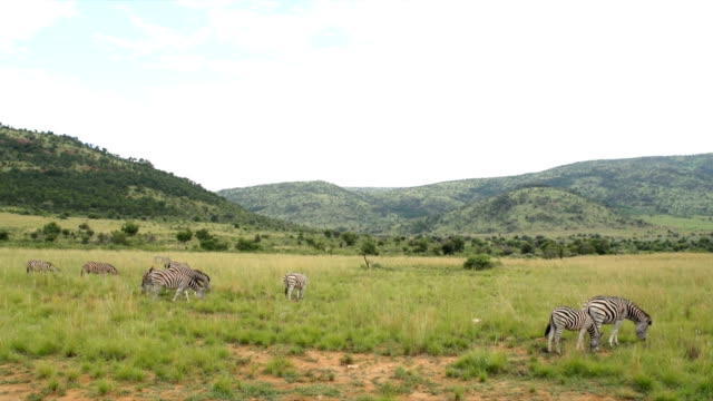 WS Zebras grazing on open grassland / Pilanesberg National Park/ North West Province/ South Africa