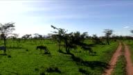 Zebras in Serengeti N.P. - Tanzania