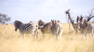 LS Zebras In The African Savannah