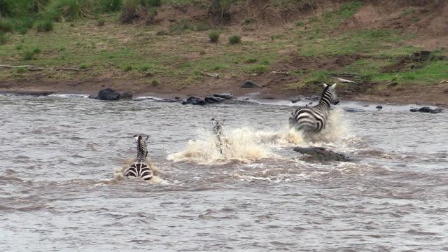 Zebras kick away Nile Crocodile in Mara River, Kenya