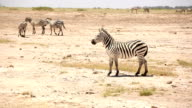 Zebras playing for mating