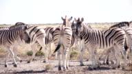 LS Zebras Standing On The Road