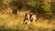 MS Zebras walking across grassland / Pilanesberg National Park, North West Province, South Africa