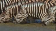 Zebras_Wasser_close