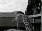 London EXT 'Kenilworth Castle' zoo boat / Name on side of cargo ship / Crates on ship's deck / Giraffe / Man puts cap on giraffe's head / Emu / Two...
