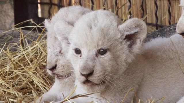 A zoo in Ukraine presents the latest addition to its enclosures five white lion cubs
