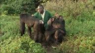 MS ZI Zoo keeper with chimpanzee's in forest / Ngamba Chimp Sanctuary, Ngamba Island, Uganda