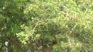 Zoom cashewtree to cashew apple