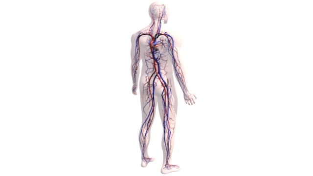 A zoom in on a fully rotating transparent male figure with the beating heart and vessels of the cardiovascular system.