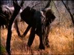 Zoom in to elephant trumpeting beside trees, Botswana