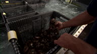 Zoom in to fisherman handling abalone in basket.