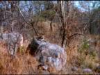 Zoom in to leopard lying on rock, Botswana