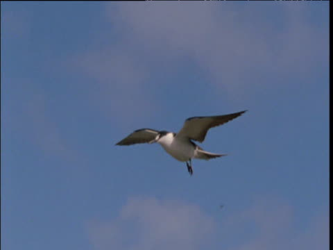 Zoom in to sooty tern as it hovers overhead, Lord Howe Island, Australia