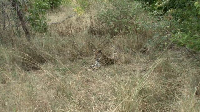 Zoom into leopard's face/ Kruger National Park/ South Africa