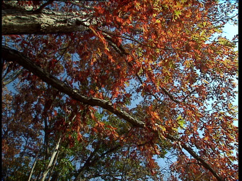 Zoom into russet coloured leaves and tree branches against blue sky