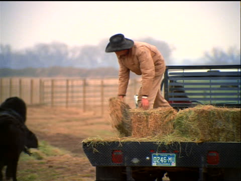 zoom out cowboy standing on truck bed throwing bales of hay to cattle on ranch / Colorado