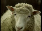 Zoom out from Dolly the Cloned Sheep in pen as she approaches camera; 27 Feb 97