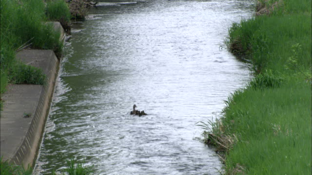 Zoom out from duck swimming along river followed by ducklings, Hokkaido