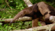 zoom out PAN giant anteater climbing over fallen tree limb on rain forest floor / Tambopata, Peru