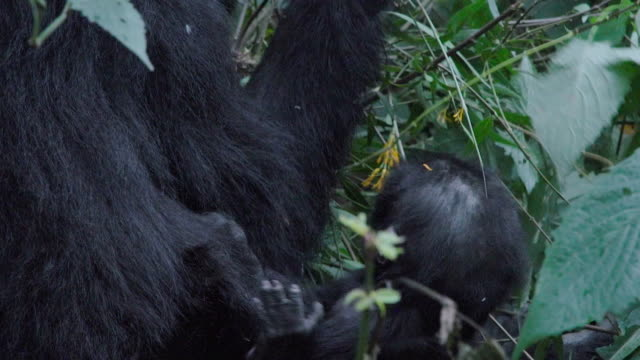 MCU, Zoom out Mountain Gorilla mother w/ baby