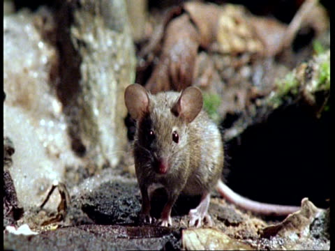 CU Zoom out, Mouse on forest floor, Amazon